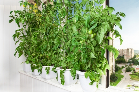 Growing tomatoes in pots on the balcony of a city apartment Stock Photo