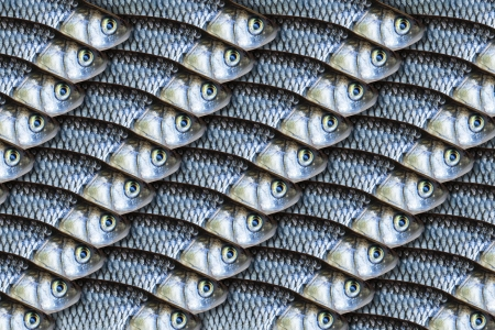 Fish background, fresh fish close up as background Stock Photo - 16925822