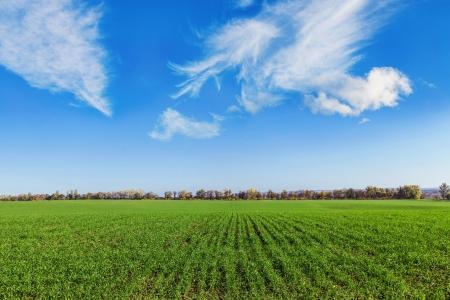 winter wheat: field of winter wheat on blue sky background