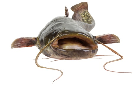 Big river catfish close up, isolated on white background photo