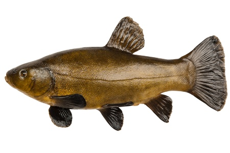 Large fresh tench isolated on white background Stock Photo - 18985069