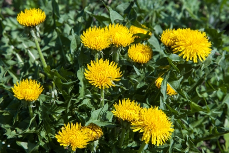 Yellow dandelion flowers Taraxacum on meadow in spring photo
