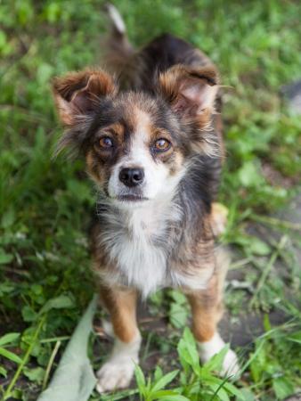 Mongrel Hund schaut in die Kamera im Freien Standard-Bild