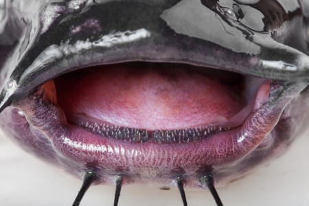 Open mouth the channel catfish close up Stock Photo