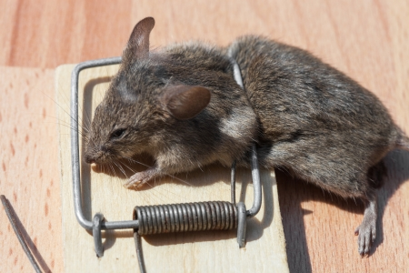 Dead field mouse in a mousetrap close-up Stock Photo