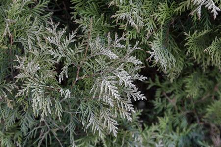 arborvitae: Green arborvitae branches covered hoarfrost, natural background