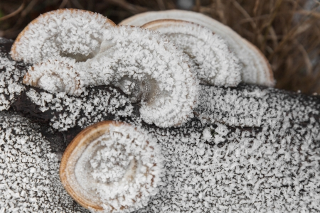 Tinder fungus covered with hoarfrost outdoors closeup photo