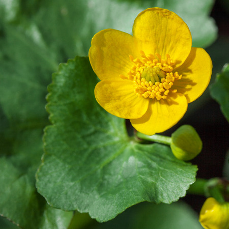 palustris: Caltha palustris yellow spring flower close up, commonly known as Marsh Marigold