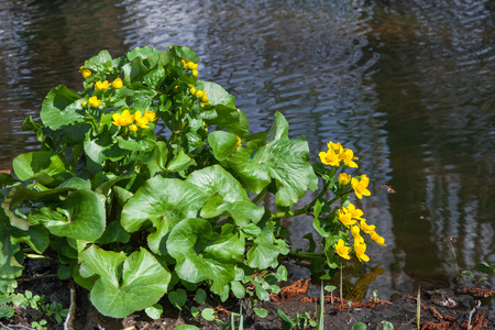 palustris: Caltha palustris yellow spring flower on the shore, commonly known as Marsh Marigold
