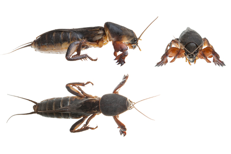 saboteur: Mole cricket isolated on white background  Gryllotalpidae , three projections