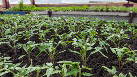 forcing bed: Young tomato plants in the greenhouse closeup