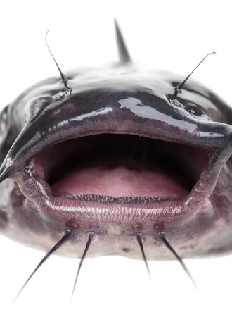 sheat fish: Open mouth the channel catfish close up Stock Photo
