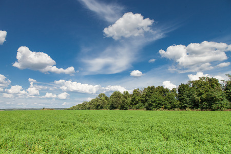 medicago: Green alfalfa field under a blue sky with white clouds