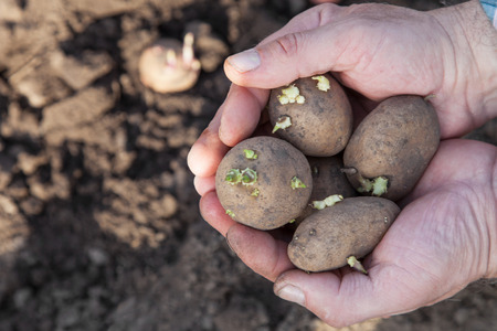 Male hands with sprouted potatoes for planting