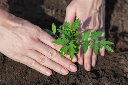 Tomatenjungpflanzen in Torf Töpfe für die Bepflanzung vorbereitet