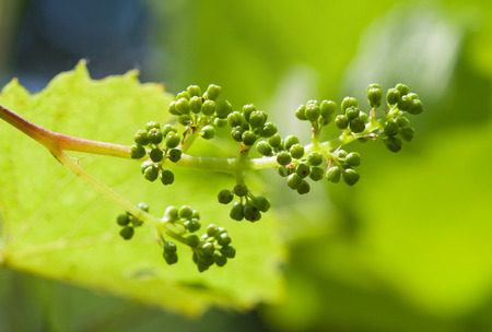 The vine sprout with young grape cluster