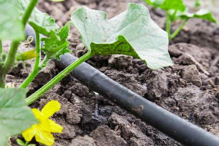 Sämling Gemüsebeete mit Tröpfchenbewässerung