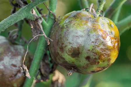 Tomatoes get sick by late blight closeup photo