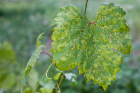 Closeup of vine grape leaf affected by Downy Mildew (Plasmopara vitikola) Stock Photo