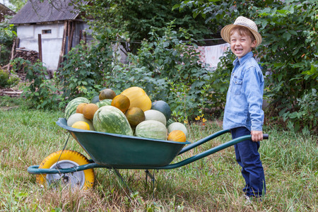 helps: Boy with a full wheelbarrow in garden helps harvest crops