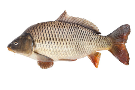 Big carp isolated on white background with clipping paths