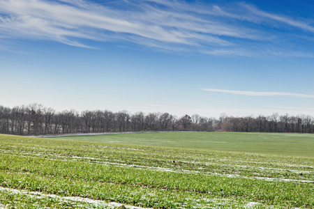 Grain field covered by snow in winter photo