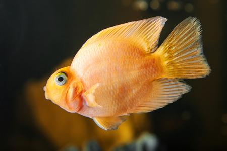 cichlids: Parrot cichlids swimming in aquarium on dark background Stock Photo