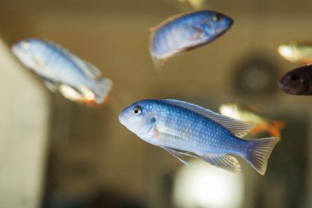 cichlid: Group blue Malawi cichlid in the aquarium Stock Photo