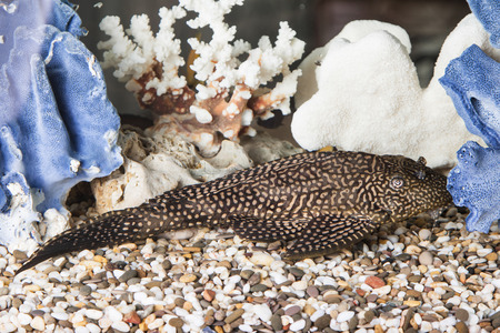 aquaria: Aquarium Catfish, Hypostomus plecostomus, rests at bottom of aquarium Stock Photo