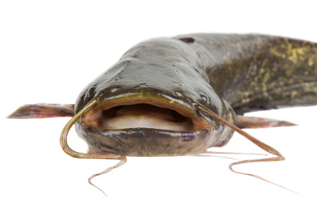 Big river catfish close up, isolated on white background with clipping paths photo