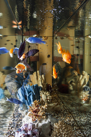 cichlasoma: Home aquarium with fish parrots and Malawi cichlids