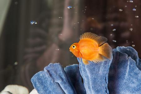Parrot cichlids swimming in aquarium on dark background photo