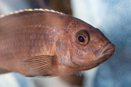 cichlids: Photos Malawi cichlids fish closeup in the aquarium