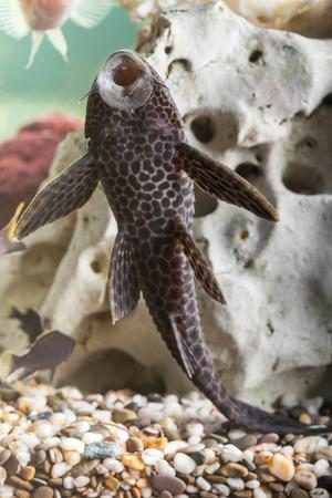 Aquarium Catfish, Hypostomus plecostomus, rests at bottom of aquarium Foto de archivo