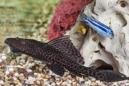 Aquarium Catfish, Hypostomus plecostomus, rests at bottom of aquarium photo