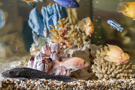 Home aquarium with fish Parrots, Hypostomus plecostomus and Malawi cichlids photo