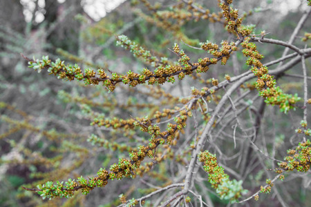 argousier: Blossoming branch of sea-buckthorn in early spring