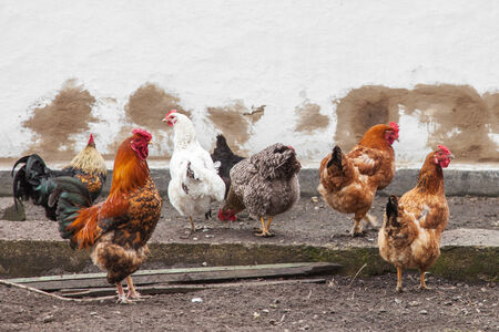 Cock and hens walking on rural yard photo
