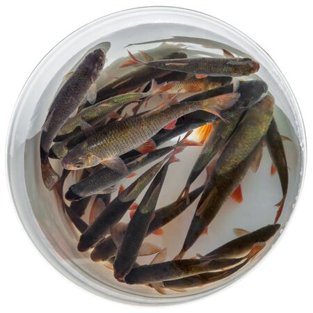 rudd: Fresh fish rudd caught on a fishing rod in a plastic bucket isolated on white background Stock Photo