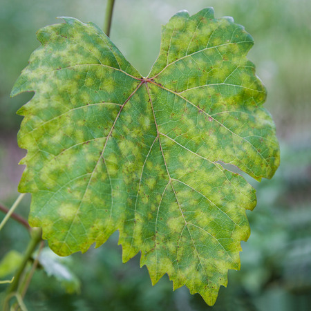mildew: Closeup of vine grape leaf affected by Downy Mildew (Plasmopara vitikola) Stock Photo