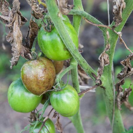 Tomaten krank von Kraut- und Knollenfäule Nahaufnahmefoto
