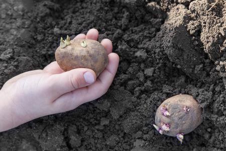 Child hands planting potato tubers into the soil Foto de archivo