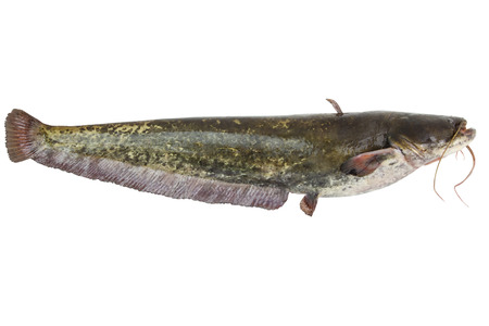 Big river catfish close up, isolated on white background with clipping paths