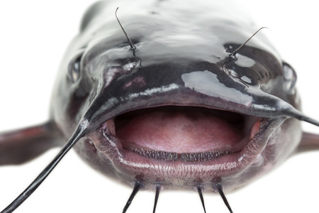 Open mouth the channel catfish close up with clipping paths