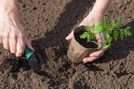 turba: Pl�ntulas de tomate en macetas de turba preparados para la siembra