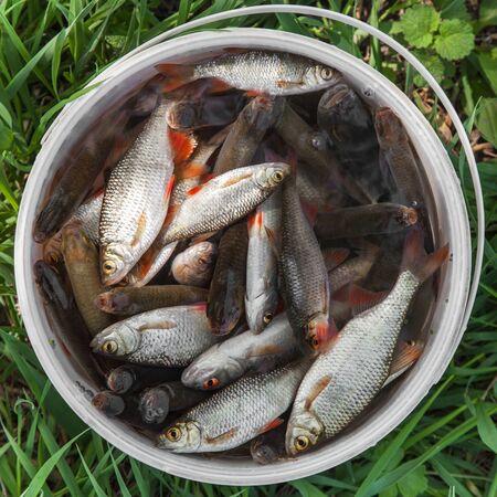 rudd: Fresh fish rudd caught on a fishing rod in a plastic bucket
