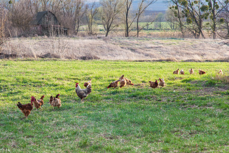 piebald: Roosters and hens are grazing on a green meadow in spring Stock Photo
