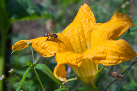 pollinate: Bees pollinate the flowers of pumpkin outdoors