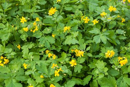 thickets: Thickets of flowering Celandine plants (Scientific name: Chelidonium majus)