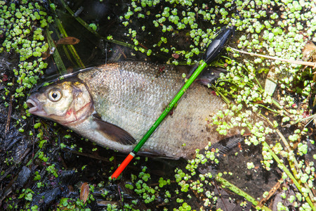 abramis: Bream caught on float tackle lying in water Stock Photo